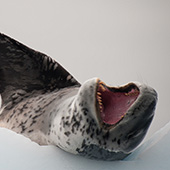 Leopard Seal - Antarctic Peninsula - Whale Watching Voyage