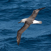 Grey-headed Albatross - Antarctic Peninsula – Polar Circle, Deep South Discovery and whale watching voyage