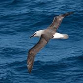 Grey-headed Albatross - Antarctic Peninsula - Whale Watching Voyage