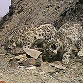 Snow leopard - Kyrgyzstan