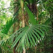 Pinanga tashiroi palm - Lanyu Island Taiwan